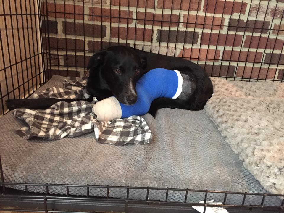 Dog with fixator and bandage on leg in a crate.