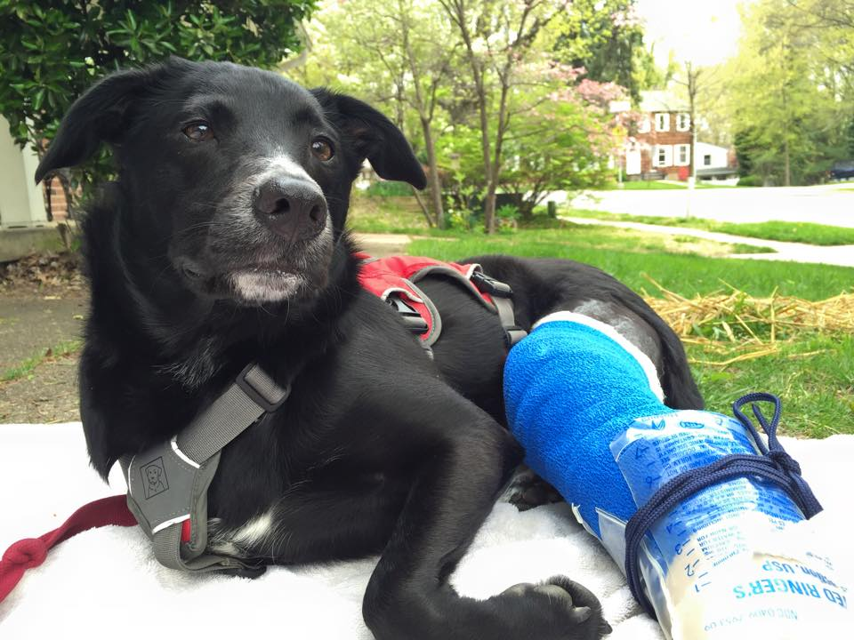 Dog wearing fixator and bandage while sitting on blanket in yard for mental enrichment.