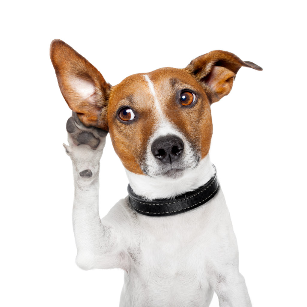 Photos of dog with paw to raised ear as though listening to a secret.