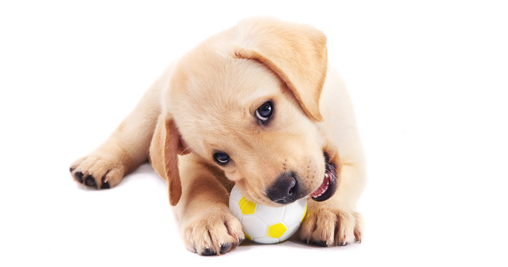 Puppy chewing on toy