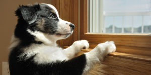 Puppy with paws on window sill looking out window