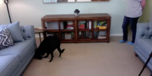 Still shot of video showing dog locating a treat hidden under the sofa