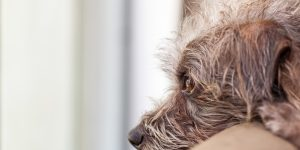 Scruffy dog with head on back of sofa looking out window