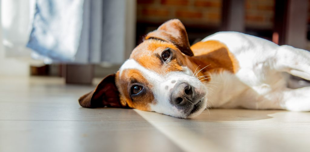 Get started with training for separation anxiety. Teach your dog that it's safe to be home alone. You'll be your dog's hero! Photo of relaxed dog lying on side looking at camera.