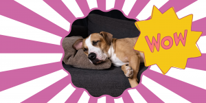 Dog resting comfortably on couch. Wow! sticker placed on top of photo to demonstrate that the dog's comfort level when home alone is more important than time on the clock in separation anxiety training.